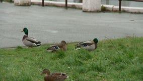 Patos en el parque de la ciudad de Kirov almacen de video