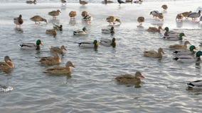 Patos en el primer del río almacen de metraje de vídeo
