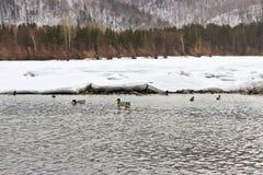 Patos en el río Foto de archivo libre de regalías