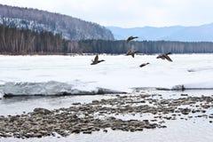 Patos en el río Fotos de archivo