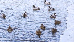 Patos en el río Imágenes de archivo libres de regalías