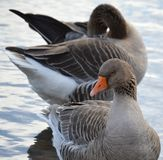 Patos en el río Foto de archivo