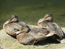 patos en el río Fotografía de archivo