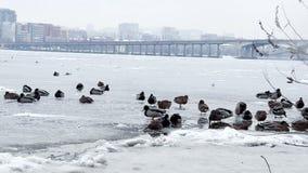 Patos en el río congelado metrajes