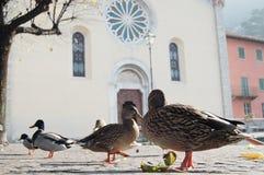 Patos en el río del lago del ` s de Como en otoño Pueblo de Torno Fotos de archivo libres de regalías