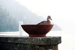 Patos en el río del lago del ` s de Como en otoño Pueblo de Torno Foto de archivo libre de regalías
