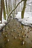 Patos en el río en invierno Fotos de archivo