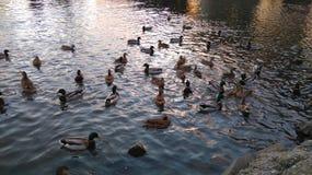 Patos en Elba fotografía de archivo libre de regalías