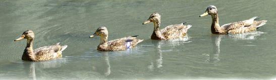 Patos en fila Imagen de archivo