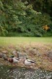 Patos en fila Imagenes de archivo