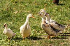 Patos en hierba Imagen de archivo libre de regalías