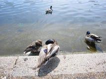 Patos en Hyde Park, Londres Imagenes de archivo