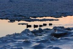 Patos en invierno Foto de archivo libre de regalías