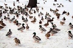 Patos en invierno Imagen de archivo libre de regalías