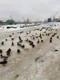 Patos en invierno en el puerto fotografía de archivo