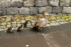 Patos en la acera Fotos de archivo