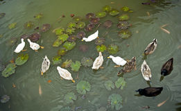 Patos en la charca Fotografía de archivo libre de regalías