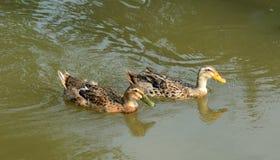 Patos en la charca Imagen de archivo libre de regalías