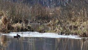 Patos en la estación de acoplamiento, en abril, nadada en The Creek, en el parque nacional 'isla de los alces ', Moscú, Rus metrajes