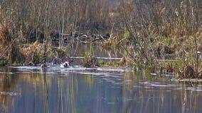 Patos en la estación de acoplamiento, en abril, nadada en The Creek, en el parque nacional 'isla de los alces ', Moscú, Rus almacen de metraje de vídeo