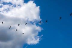 Patos en la formación Fotografía de archivo libre de regalías