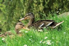 Patos en la hierba Fotos de archivo libres de regalías