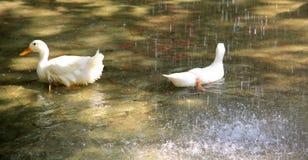 Patos en la lluvia Foto de archivo