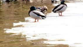 Patos en la masa de hielo flotante de hielo, hielo en el río Platyrhynchos de las anecdotarios almacen de video