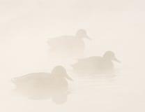 Patos en la niebla Imágenes de archivo libres de regalías
