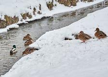 Patos en la nieve Foto de archivo libre de regalías