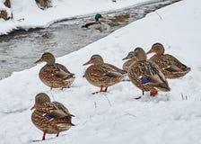 Patos en la nieve Fotografía de archivo libre de regalías