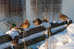 Patos en la nieve cerca del canal Imagen de archivo