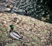 Patos en la orilla del río Foto de archivo