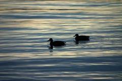 Patos en la puesta del sol Foto de archivo