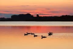 Patos en la puesta del sol, Ucrania Fotos de archivo libres de regalías