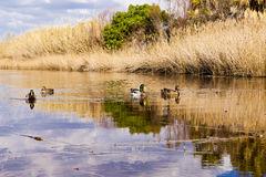 Patos en laguna Foto de archivo libre de regalías