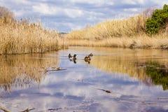 Patos en laguna Fotos de archivo