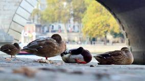 Patos en París, Francia almacen de metraje de vídeo