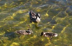 Patos en Strondheim Fotografía de archivo libre de regalías