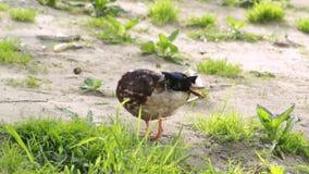 Patos en tierra