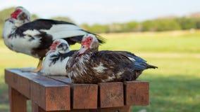 Patos en un banco Fotos de archivo
