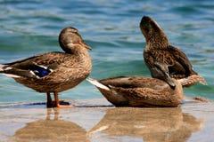 Patos en un lago Imagen de archivo