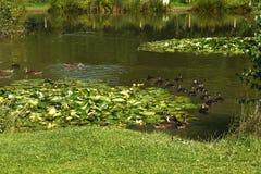Patos en un lago fishing Imágenes de archivo libres de regalías