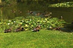 Patos en un lago fishing Imagen de archivo