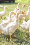 Patos en un paseo en prado verde en una granja fauna Árbol en campo Imagen de archivo