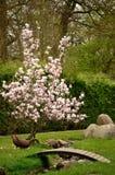 Patos en un prado cerca de un árbol de la magnolia y de una cuba de tintura Fotografía de archivo
