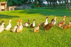 Patos en un prado de la hierba verde Foto de archivo libre de regalías