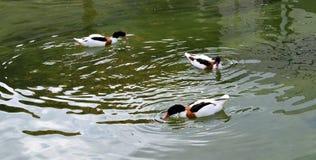 3 patos en un río Fotografía de archivo