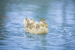 Patos en una charca fotos de archivo