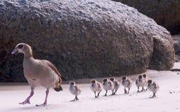 Patos en una fila Fotografía de archivo libre de regalías